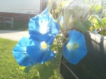 3 Morning Glories