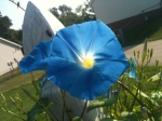 1 Morning Glory flower