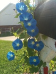 A line of Morning Glories